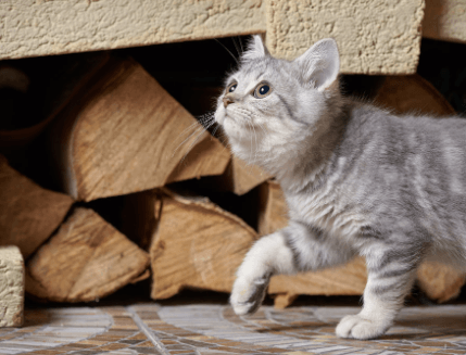 Kitten walking by the firewood in a Brome Lake fireplace.